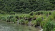 Brown Bear Habitat And Scenics Of Katmai Alaska - Tall Grass Blows In The Wind Alongside River