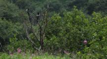 Brown Bear Habitat And Scenics Of Katmai Alaska - Magpies Preen In Tree Light Rainfall, Colorful Fireweed