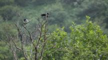 Brown Bear Habitat And Scenics Of Katmai Alaska - Magpies Preen In Tree Light Rainfall