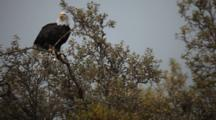 Brown Bear Habitat And Scenics Of Katmai Alaska - Bald Eagle Eats Salmon In Tree