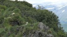 Wolf Family On Grassy Ridge, Katmai National Park