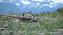 Wolf Pup Carries Plastic Bottle, Marine Debris, Through Driftwood