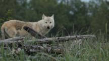 Wolf Looks Up From Grass Toward Camera Then Wanders Off