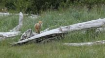 Red Fox Looks Around From Log Then Lopes Off, Katmai National Park