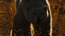 Polar Bear Walks Through High Grass On Tundra, Sunset Light