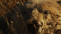 Polar Bear Rests, Sleeps In High Grass On Tundra, Sunset Light