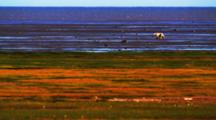 Tidal Flat And Tundra In Fall Colors, Distant Lone Polar Bear