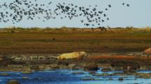 Flock Of Snow Geese Flies Over Polar Bear Resting In Water Of Tidal Flat