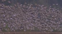 Huge Flock Of Birds, Probably Snow Geese, Fly Over Field