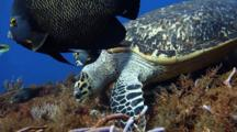 Hawksbill Turtle Eating With French Angelfish