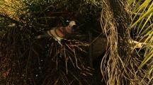 Pigeon Feeding On Palm Fruits
