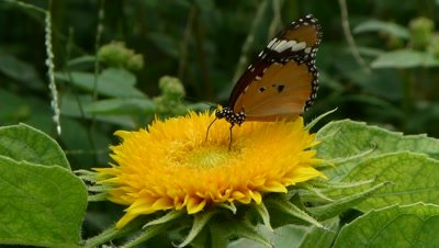 Plain Tiger (Danaus Chrysippus) Butterfly sipping nectar on Sunflower Teddy Bear. The flower blooms on shorter bushy plant in Golden Yellow colour as soft , fluffy cushion like flower.