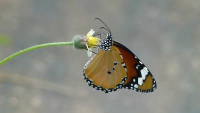 Plain Tiger (Danaus Chrysippus) Butterfly  sipping nectar on Spanish Needles Flower, also known as Pitch Fork Weed (Bidens Alba). Bidens are Zoochorous, means the seeds are spread by animals.