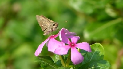 Proboscis  movement  of  SKIPPER  butterfly  on  two flowers  of  the  aka vinka, vinka rosea ( catharanths ross ) local name of the flower is  sadabahar.
