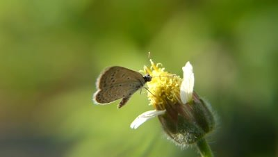 Common Grass Blue Butterfly  Sucking Nectar from Spanish Needle Flower, also known as Pitch Fork Weed (Bidens Alba), Bidens are Zoochorous, means the seeds are spread by animals.