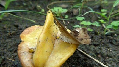 Common Barron (Euthalia Aconthea) Butterfly sipping sweet juice of Carambola fruit, ( Averrhoa Carambola- Oxalidaceae ) in Hindi it  is called Kamrakh, in  Englsh  Star fruit ,