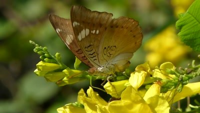 Common Barron (Euthalia Aconthea) Butterfly sipping nectar from the flowers of Tecoma stans ( yellow bell flowers ),  her green  Proboscis movements are fast.