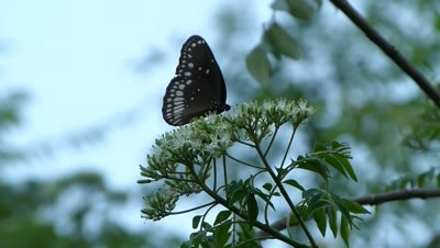 Common Crow (Euploea Core) Butterfly is sipping nectar from the Murraya Koenigii flower cluster in high wind.