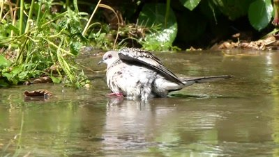 Spotted Dove ( Spilopelia chinensis ) is bathing and cooling herself in the small pool of dropping water.