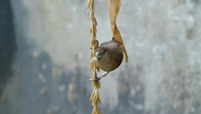 Indian Silverbill or White-throated Munia (Lonchura malabarica) is eating Grains of  barley in hanging postion.
