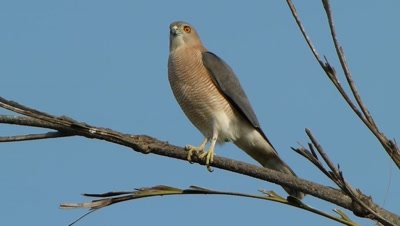 Shikra (Accipiter Badius) is pearched on the dried branch of Fishtail Palm.                        It belongs to the family Accipitridae. Shikra is a small goshawk.