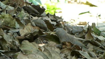 Jungle Babbler (Turdoides Striata) also called seven sisters are searching eatables  in dried foliage of Mulberry.