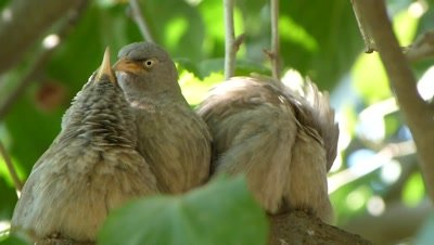 Jungle Babblers (Turdoides Striata) also called seven sisters are cleaning each other and preening on the branche of fig tree.