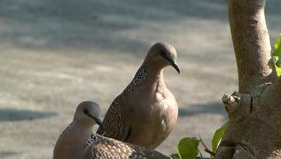 Spotted Doves ( Spilopelia chinensis ) are preening at the pit of wild fig tree.