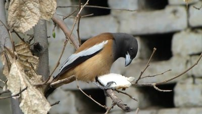 Rufous Treepie (Dendrocitta Vagabunda) is eating bread on the branch of Mullberry.