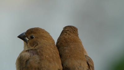 Juveniles of Scaly breasted munia (Lonchura- punctulata) are sitting tight in a cold day.