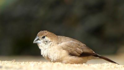 Indian silver bill (Lonchura malabarica) is eating setaria italica seeds, on ground and flew, an Artistic view.