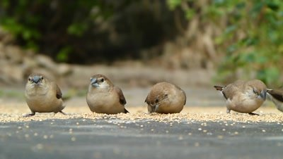 Birds are eating in a row. Four Indian silver bills (Lonchura malabarica) are eating in a row the setaria italica seeds on ground and flew.
