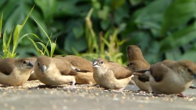 The Indian Silverbills or White-throated Munias (Lonchura malabarica) is eating seeds of setaria itallica on ground, these are small passerine birds  found  in the Indian subcontinent and adjoining regions. These estrildid finchs are common resident breeding birds