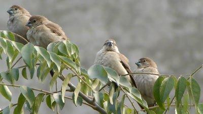 Four Indian Silverbills or White-throated Munia (Lonchura malabarica) are enjoying the high wind on the branches of Murraya Koenigii (Helichrusum Italicum) tree.