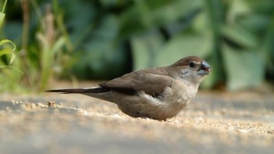 The Indian Silverbill or White-throated Munia (Lonchura malabarica) is eating seeds of setaria itallica  on  ground, it is a small passerine bird found in the Indian subcontinent  and adjoining regions.
