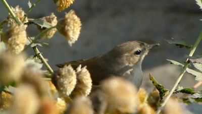 Tailor Bird  (Orthotomus sutorius) is eating Mahoo (insects) rapidly on the back of Guldaudi (Chrysanthemums) leaves.