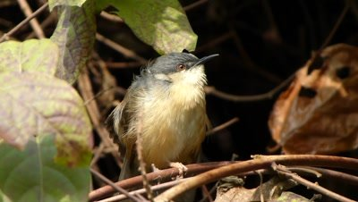Ashy Prinia or Ashy Wren-Warbler (Prinia socialis) is a small  warbler is Preening on the branches of Madhu Malti, Rangoon Creeper ( Combretum- Indicum ) in a wintery morning sunlight. The Ashy Prinia  is  insectivorous  and  it sings like repetitive tchup,tchup,tchup. This Prinia is a resident  breeder in the Indian subcontinent.