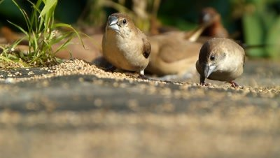 The Indian Silverbills or White-throated Munias (Lonchura malabarica) is eating seeds of setaria itallica on ground, these are small passerine birds  found  in the Indian subcontinent and adjoining regions. These estrildid finchs are common resident breeding birds, these have also been introduced into many other parts of the world and has become established in some areas. They forage in small flocks in grassland and scrub habitats.