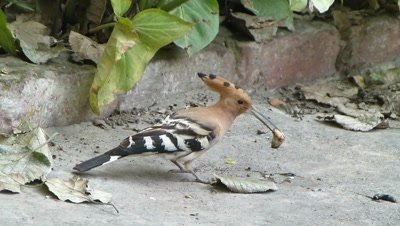 Hoopoe (Upupa epops) is digging the ground in search of insects especially pupa of butterflies, it found a pupa and cleaning it for eating, catches in its beak and flew.