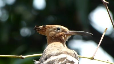 Hoopoe (Upupa epops) is pearched on the grape creeper and curiously watching by moving its neck.