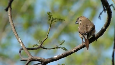 The Indian Silverbill or White-throated Munia ( Lonchura malabarica ) is perched on the branch of Murraya koenigii tree and curiously watching here and there to land on ground to feed. It is a small passerine bird found in the Indian subcontinent and adjoining regions.