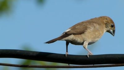 The Indian Silverbill or White-throated Munia ( Lonchura malabarica ) is shaking herself on the wire, curiously moving on wire and flew to land.