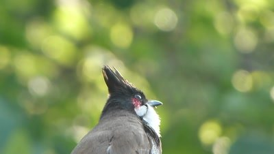 The Red Whiskered Bulbul ( Pycnonotus jocosus ) is singing in high wind against beautiful green Bokeh.eye candy
