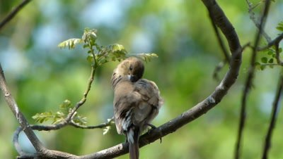 The Indian Silverbill  or White-throated Munia ( Lonchura malabarica ) is preening  on the branch of  Murraya  koenigii  tree, An artistic view. It is a  small passerine bird found in the Indian subcontinent and  adjoining regions.