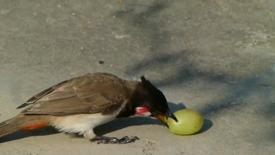 The Red Whiskered Bulbul ( Pycnonotus jocosus ) is trying to eat Grape, on ground.