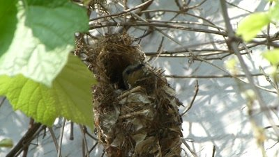 Purple Sunbird ( Female ) has completed the nest and making soft pads insidesnd flew.