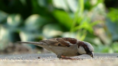 House Sparrow ( Passer domesticus ) is eating setaria italica seeds on ground, in evening sunlight, a closeup capture.