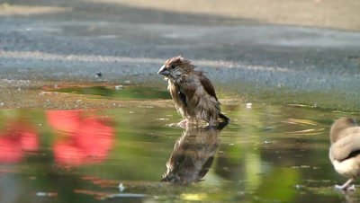 Indian silver bill (Lonchura malabarica) is bathing in asmall stagnant water in side evening light, reflection of a red flower colour is also in it