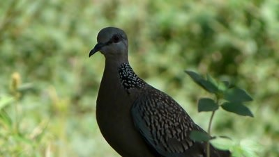 Spotted Dove ( Spilopelia chinensis ) is standing in shade in this hot noon and curiously watching, enjoying high wind out there.