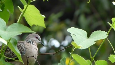 Spotted Dove ( Spilopelia chinensis ) is on the grape creeper, thinking to jump and jumped the gap